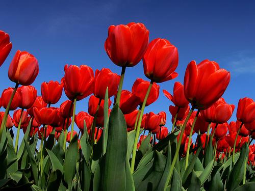 TulipaApeldoornRed